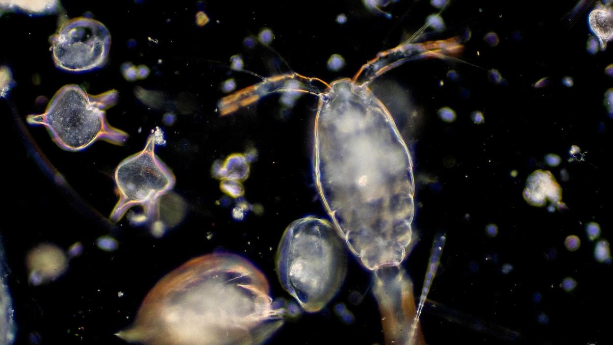 Le zooplancton peuple les océans et les mers de la Terre.