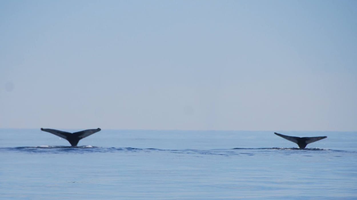 Deux queues de baleines.