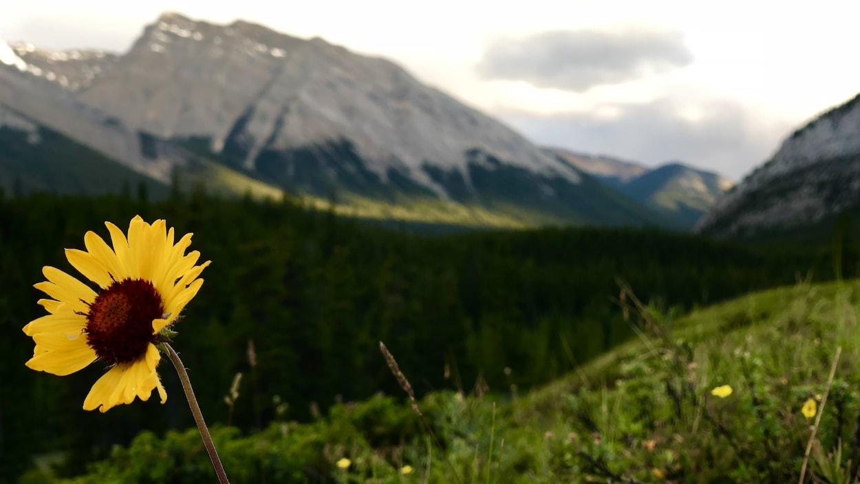 Paysage d'été dans une région vallonneuse avec une fleur jaune en avant-plan une montagne au loin.