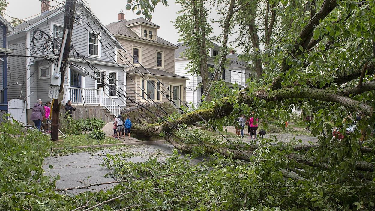 Un grand arbre déraciné bloque complètement une rue résidentielle.