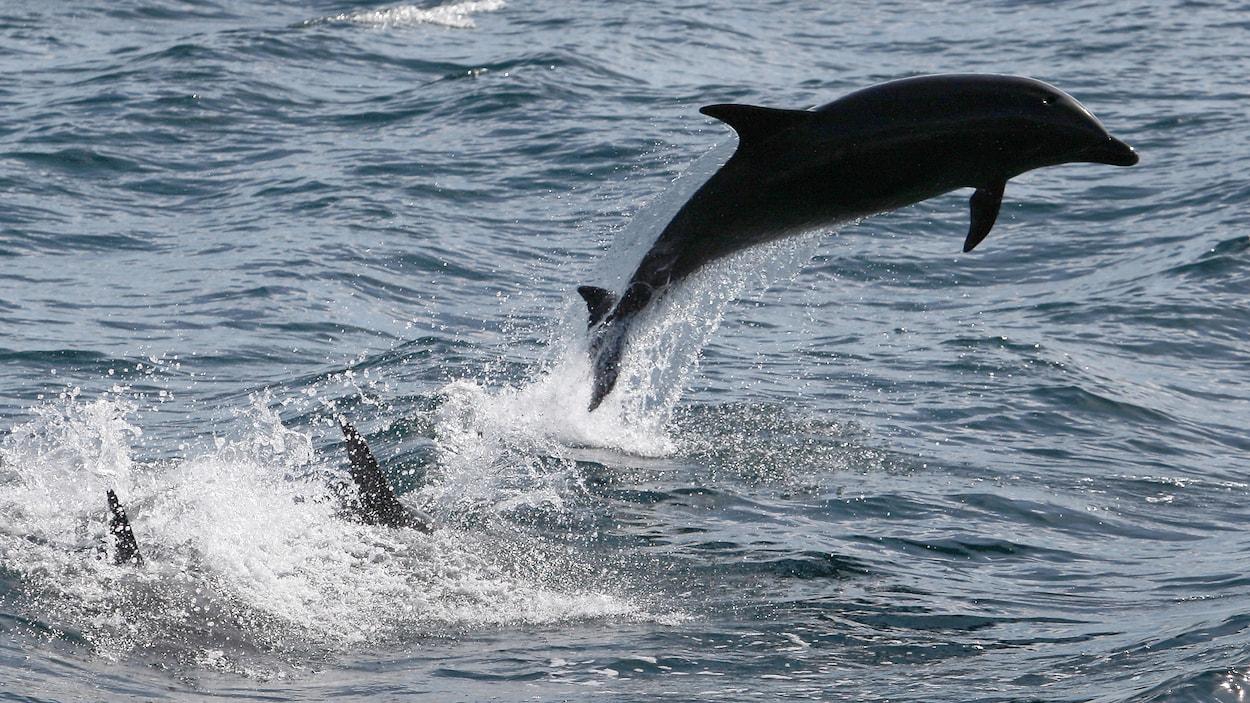 Un grand dauphin  commun qui saute au large de la côte sud de la Californie en janvier 2012.
