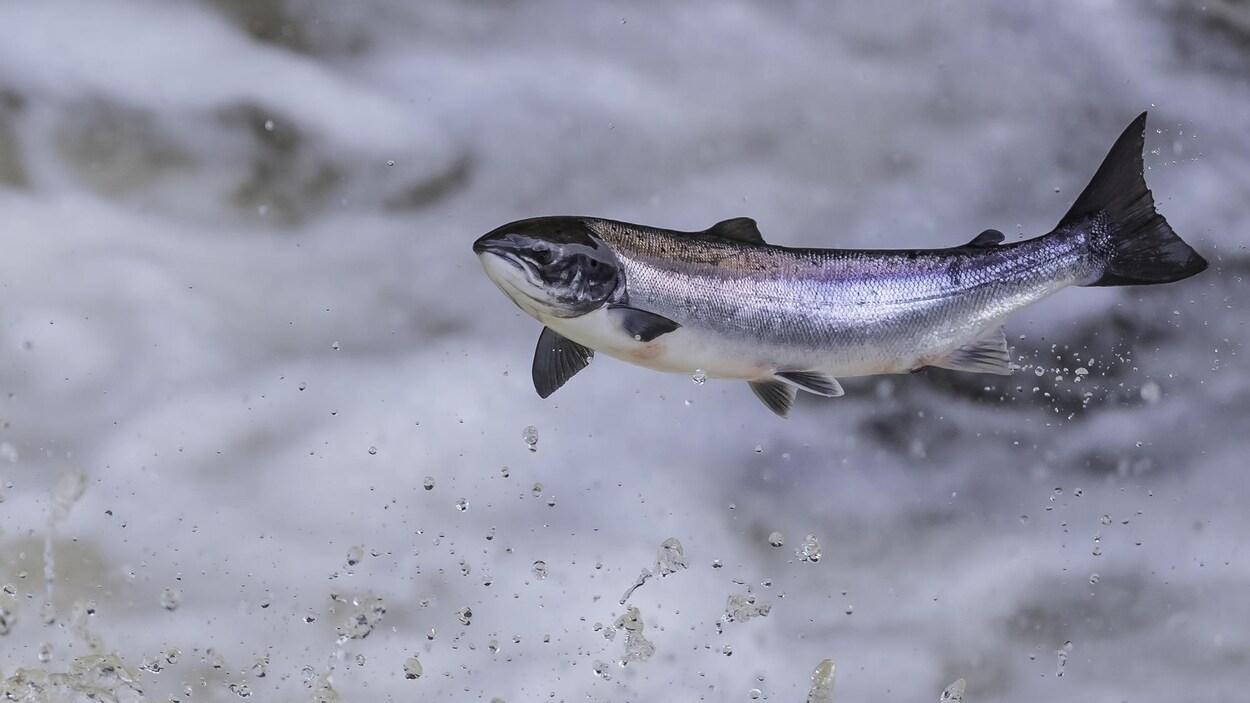 Un saumon atlantique qui saute.