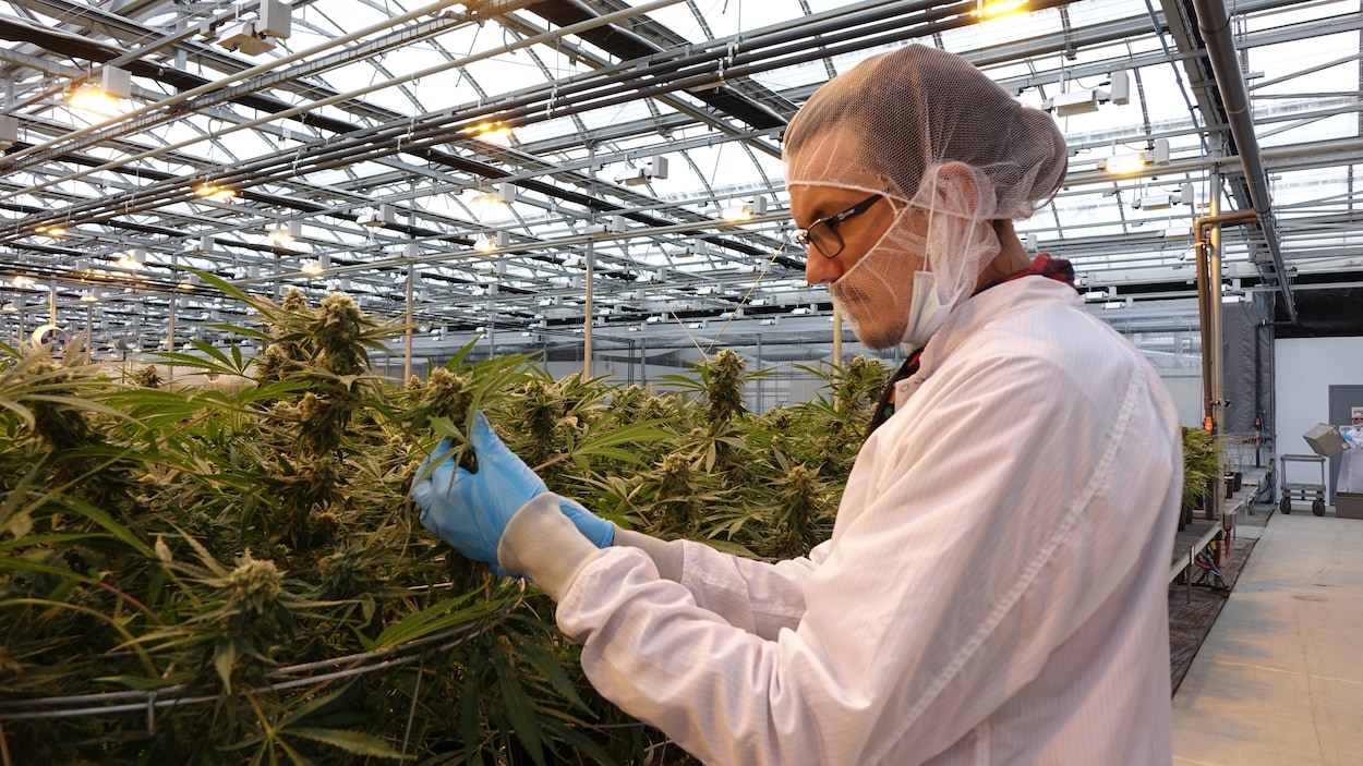 Étienne Joanisse, habillé d'un sarrau, observe un plant de cannabis dans une serre.