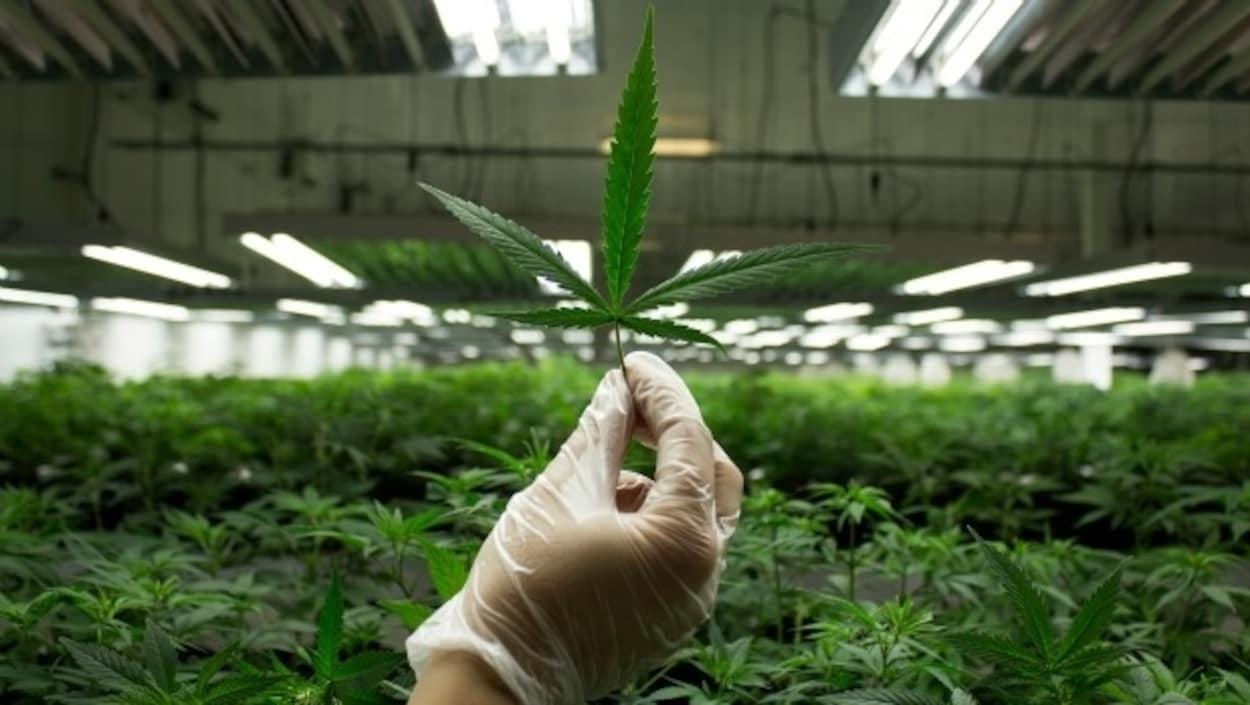 Dans une usine de production de cannabis, une main gantée tient une feuille de marijuana.