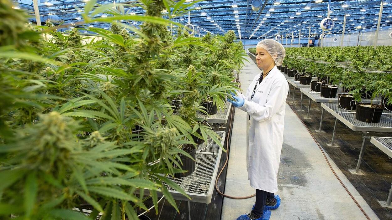 Une employée de la compagnie Hexo Corp. examine des plants de cannabis dans une serre.