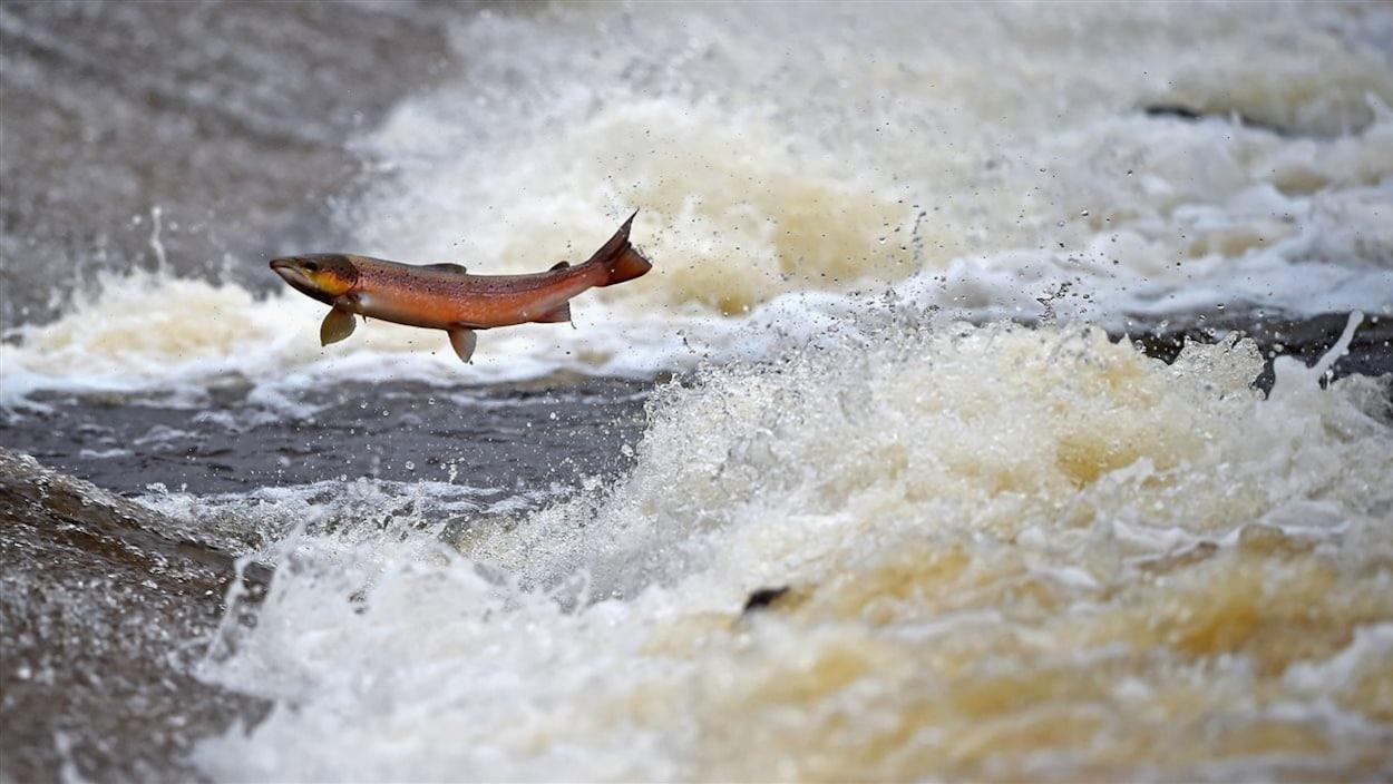 Un saumon de l'Atlantique remonte des rapides.