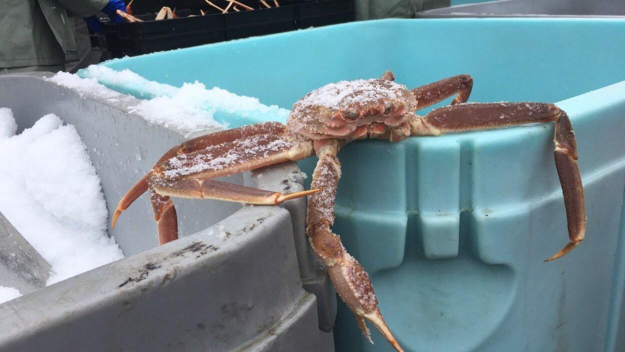 Débarquement de crabe des neiges