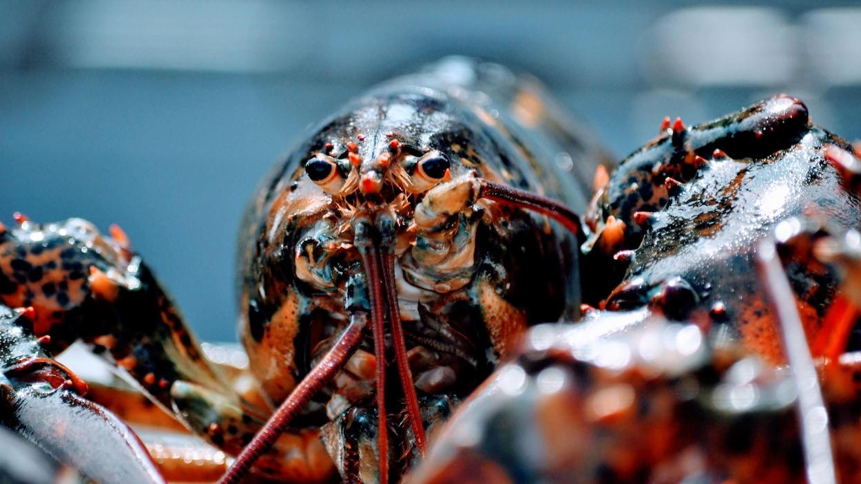 Plan rapproché d'un homard