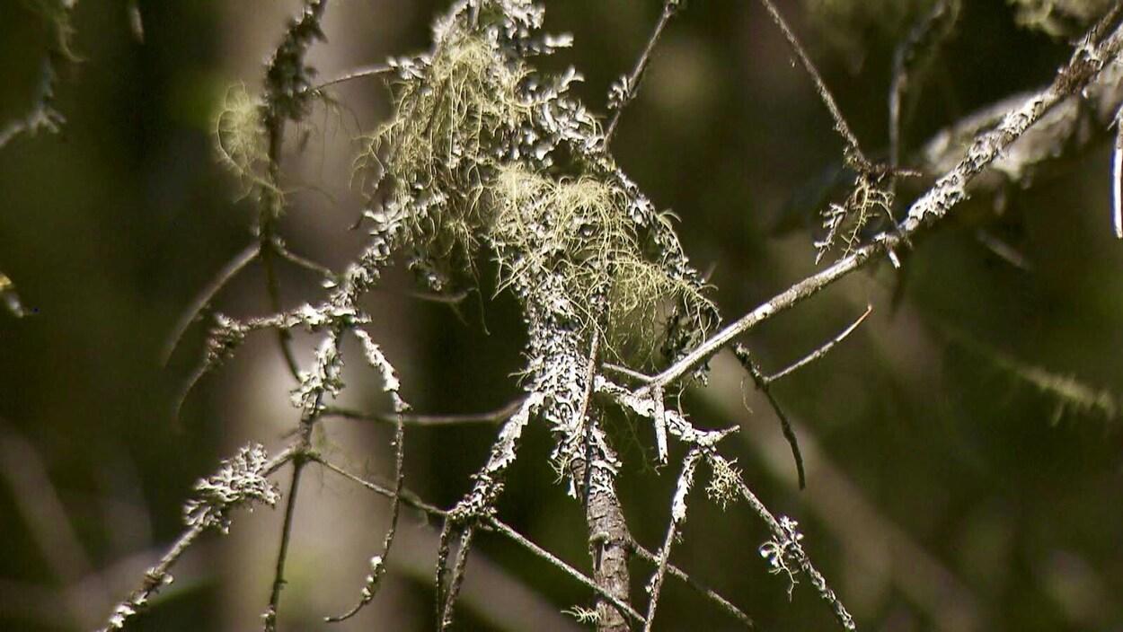 Une branche morte avec du lichen