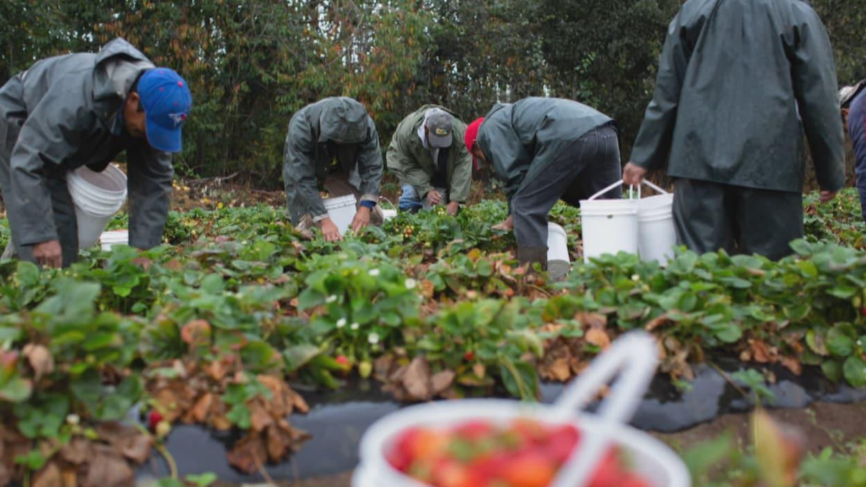 Six hommes avec des seaux blancs dans un champ de fraises penchés en avant pour faire la récolte.