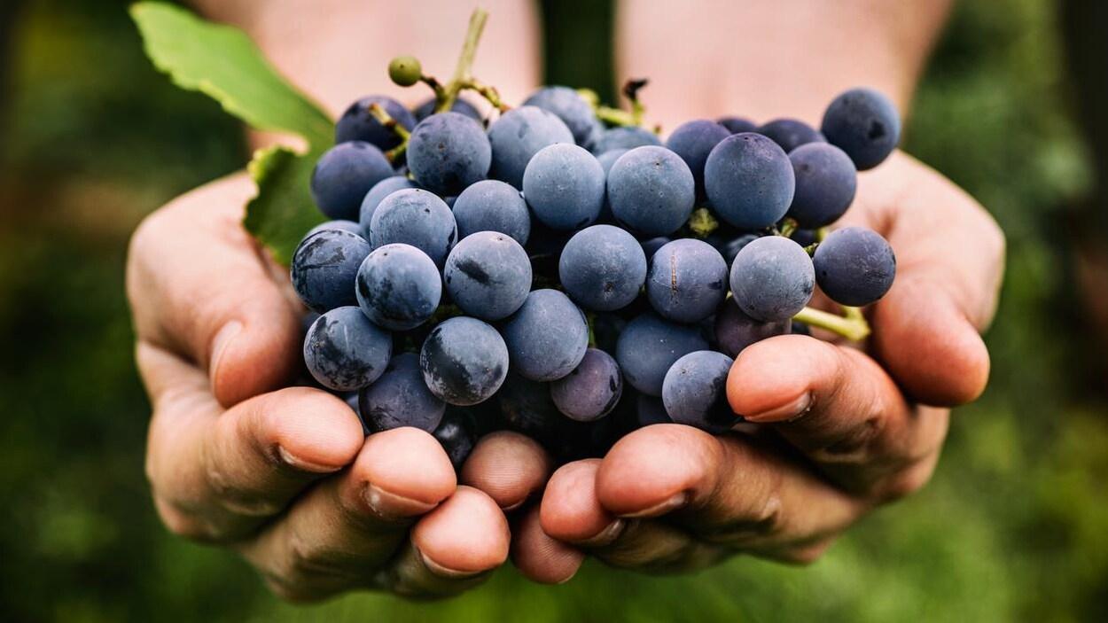 Des raisins qui serviront à faire du vin