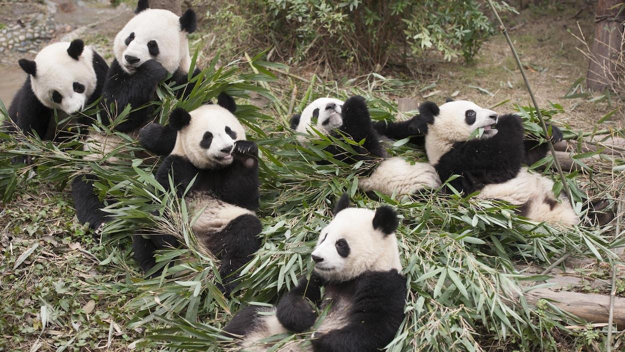 Sept pandas jouent et mangent des feuilles de bambou
