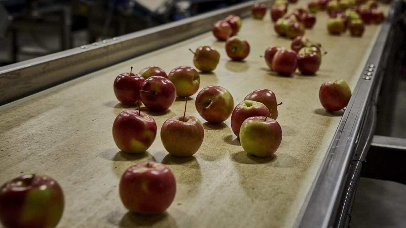 Convoyeur dans une usine avec des pommes.