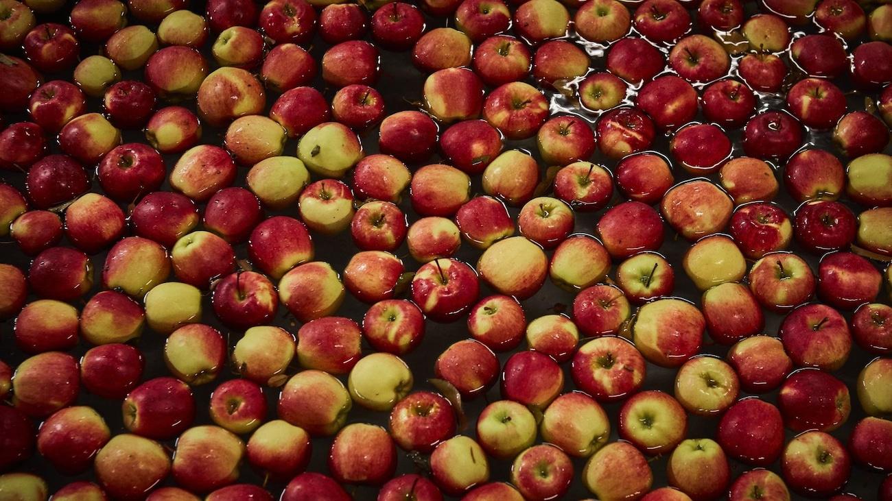 Pommes rouges fraichement cueillies flottant dans un bassin d'eau.