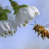 Une abeille s'approche d'une fleur.