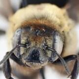 Une abeille hibiscus.