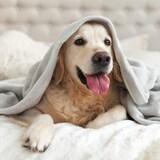 Un chien se trouve dans le lit de son maître.