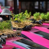 A worker sprinkles water on vegetables planted on the roof of unused taxis, which have been re-purposed due to the drop in business caused by the pandemic, at a taxi garage in Bangkok, Thailand, last week.