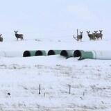 Ciervos se pasean entre los tubos almacenados para la construcción de un oleoducto.