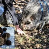 Un cochon chercheur de truffes et la truffe de l'Île de Vancouver (encadré).