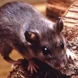 Une souris sur un morceau de bois.