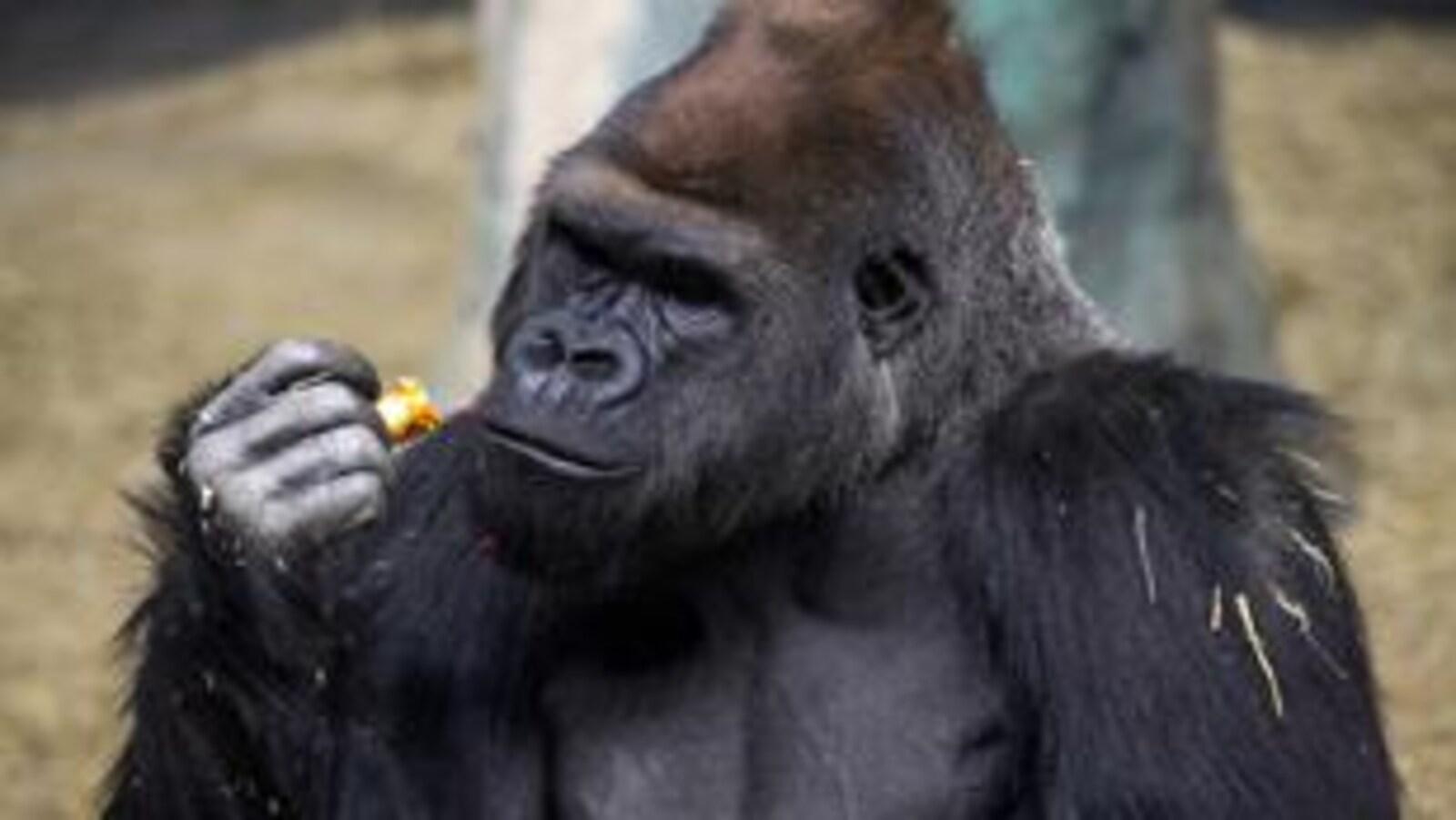 Un gorille du Zoo de Granby