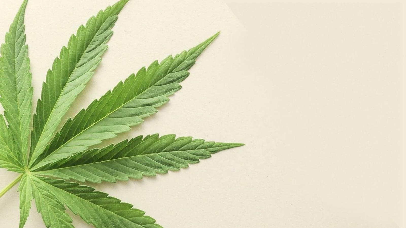 Une feuille de cannabis sur un fond beige