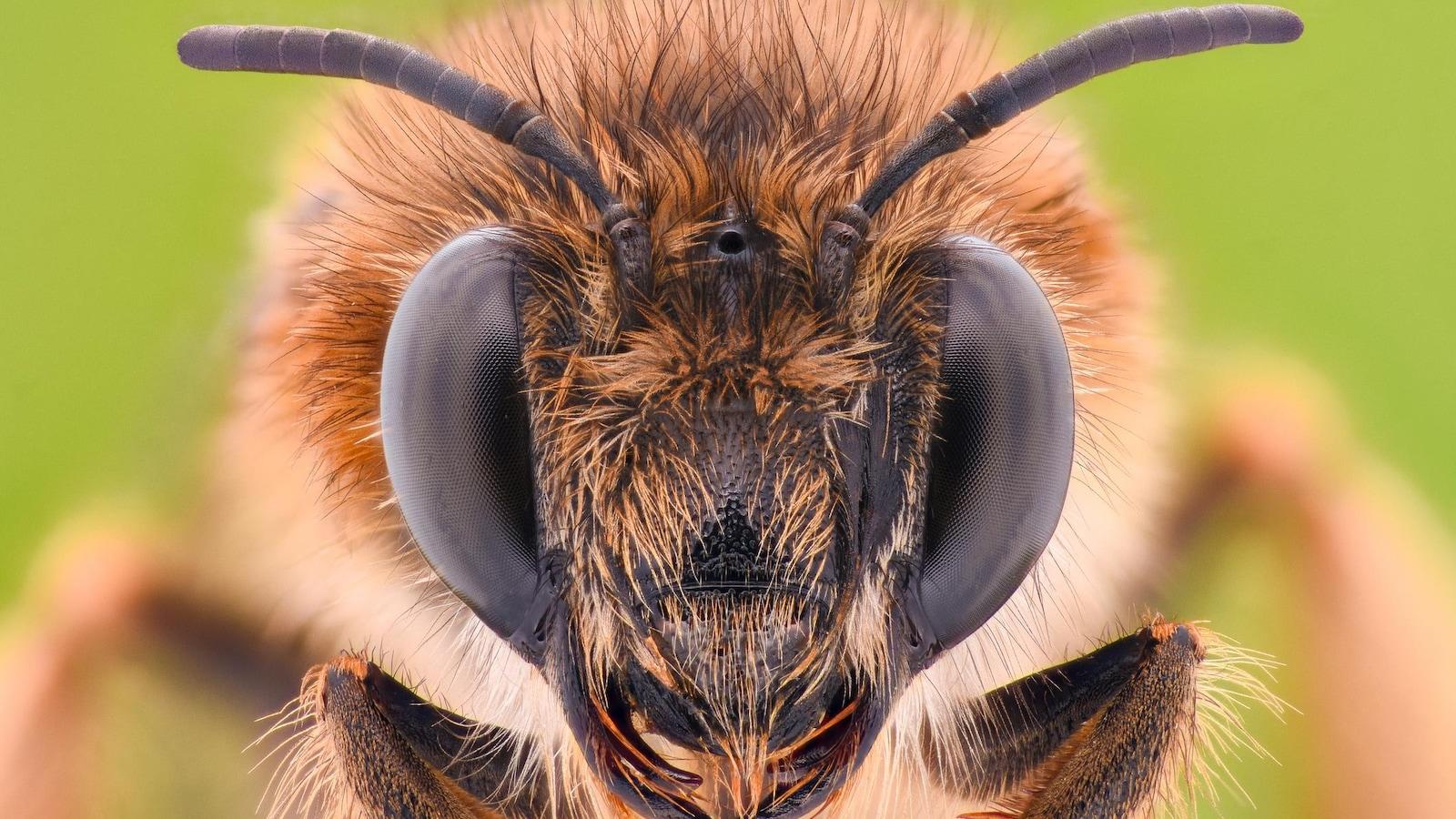 Gros plan sur la tête d'une abeille.