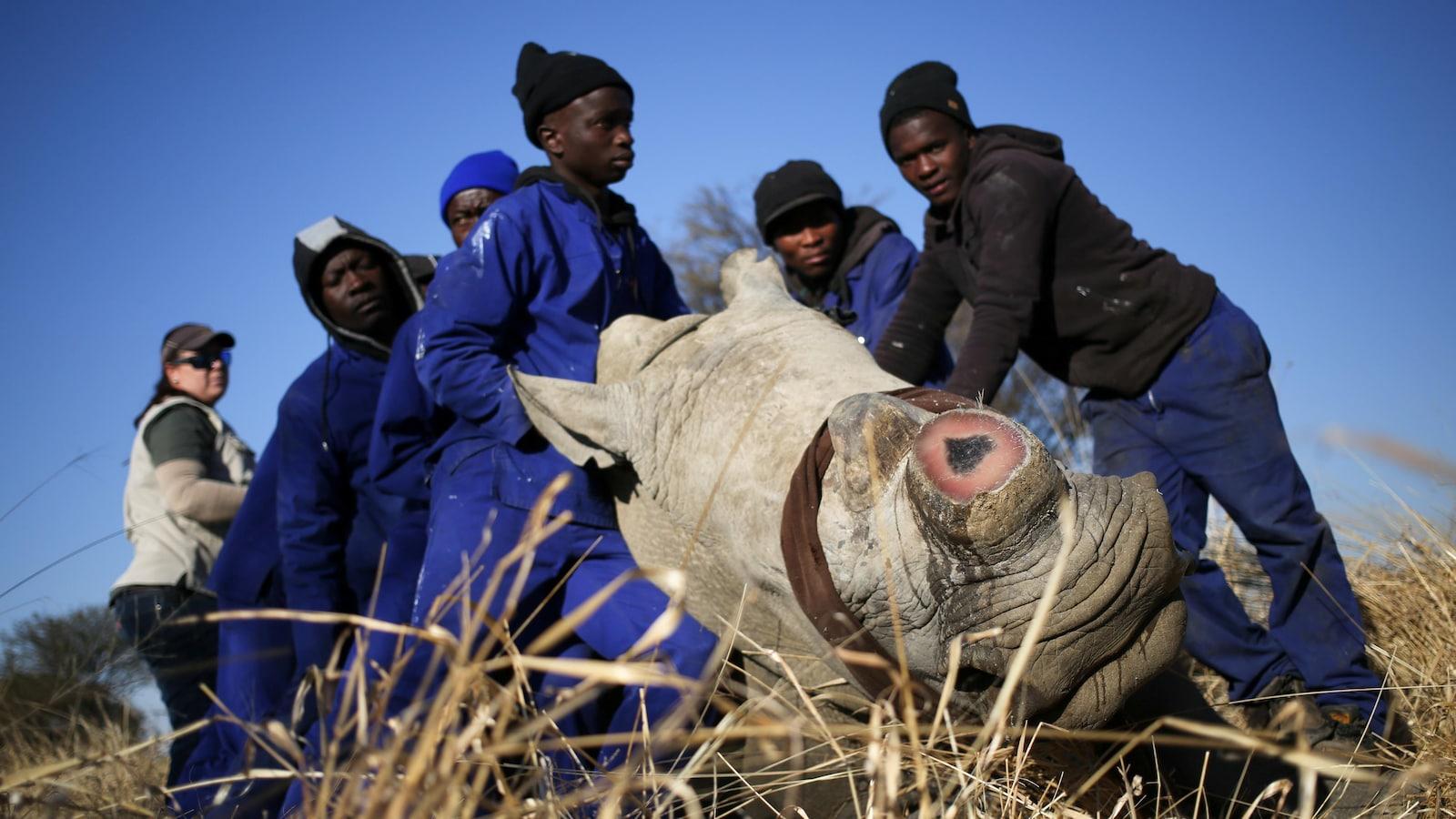 Plusieurs hommes soutiennent un rhinocéros endormi dont la corne a été coupée.