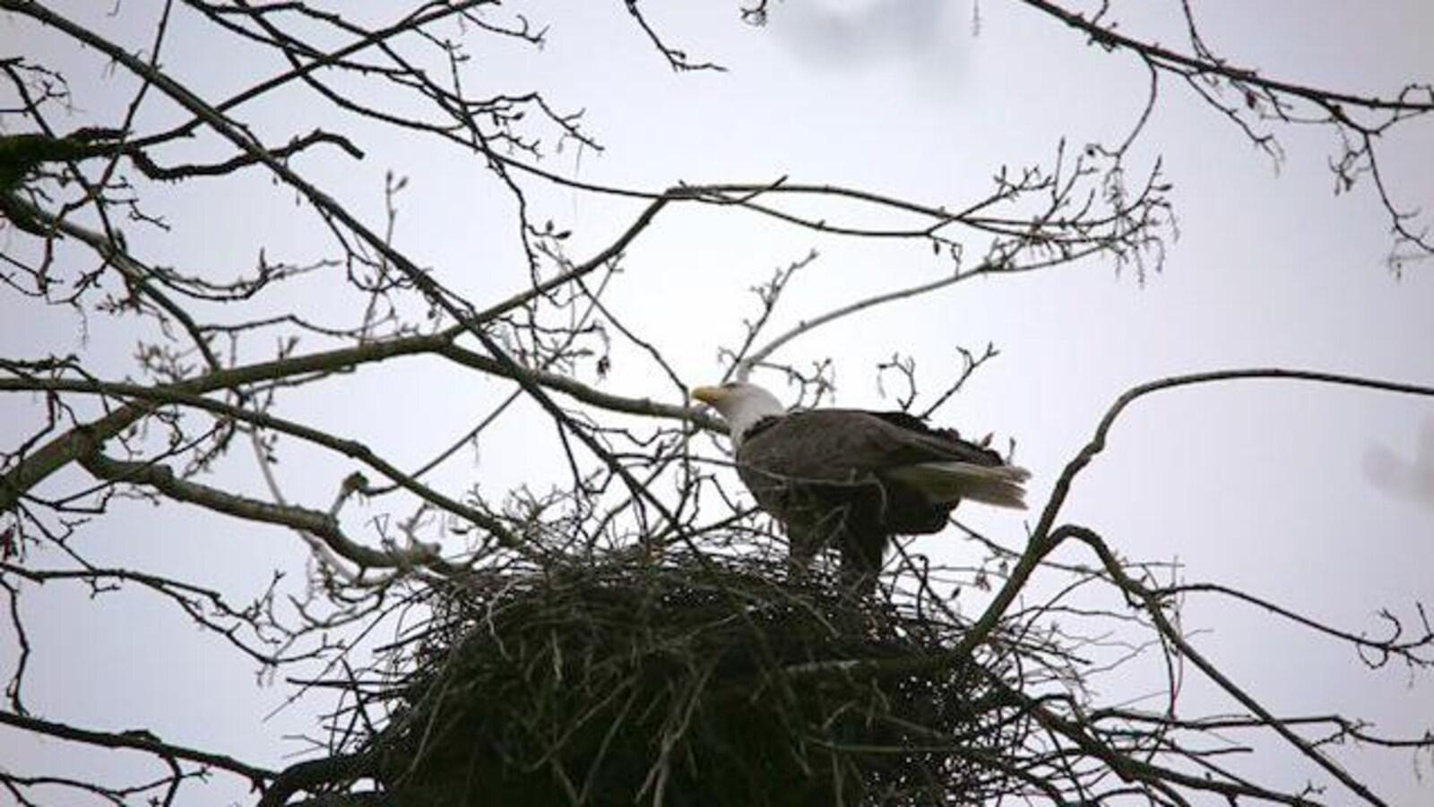 Un aigle se dresse dans un nid de héron