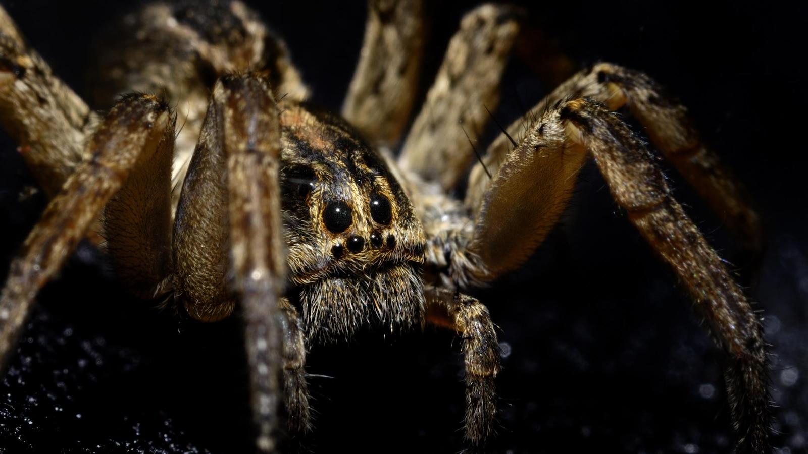 Une araignée-loup