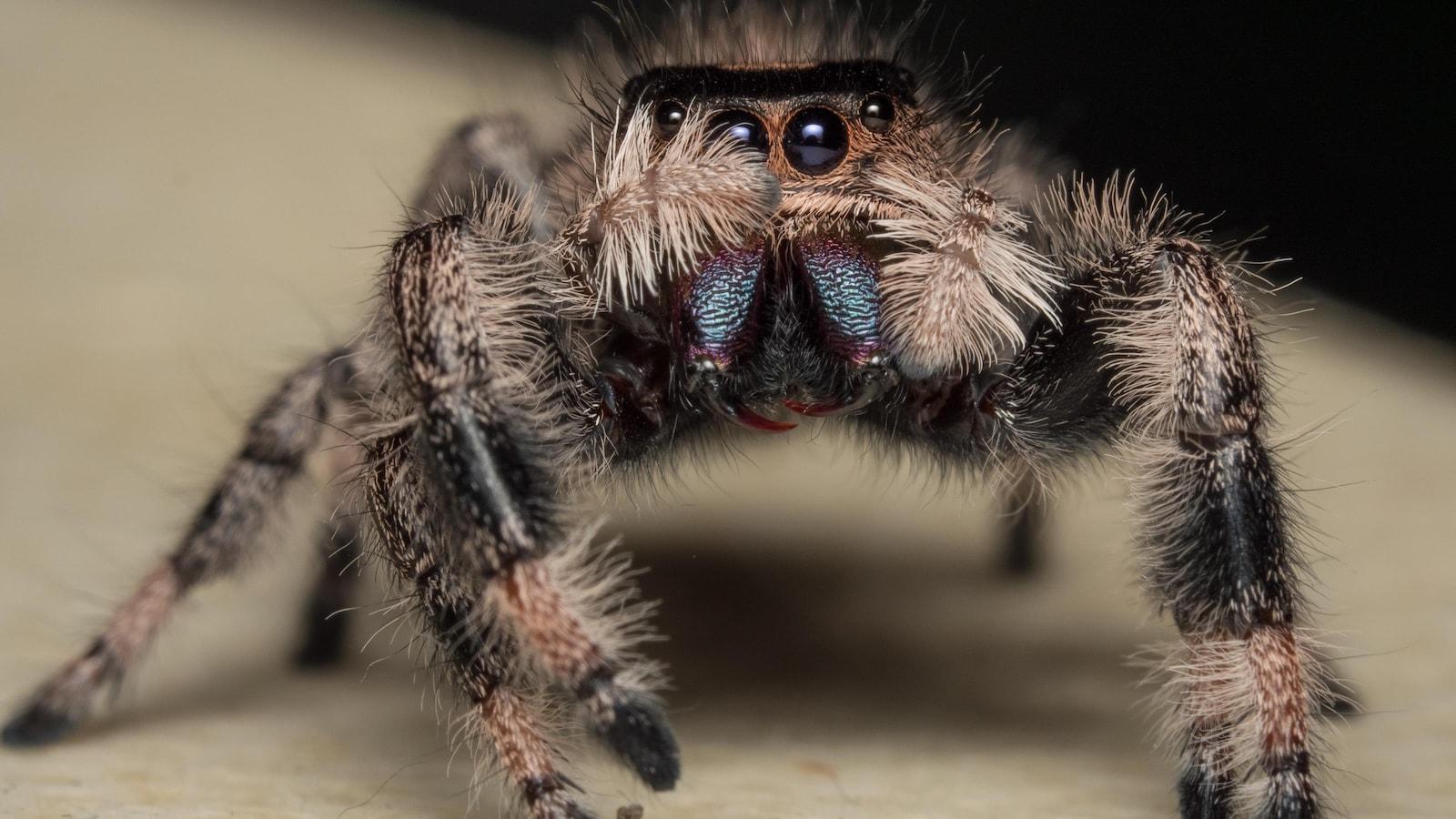 Une araignée Phidippus regius femelle.