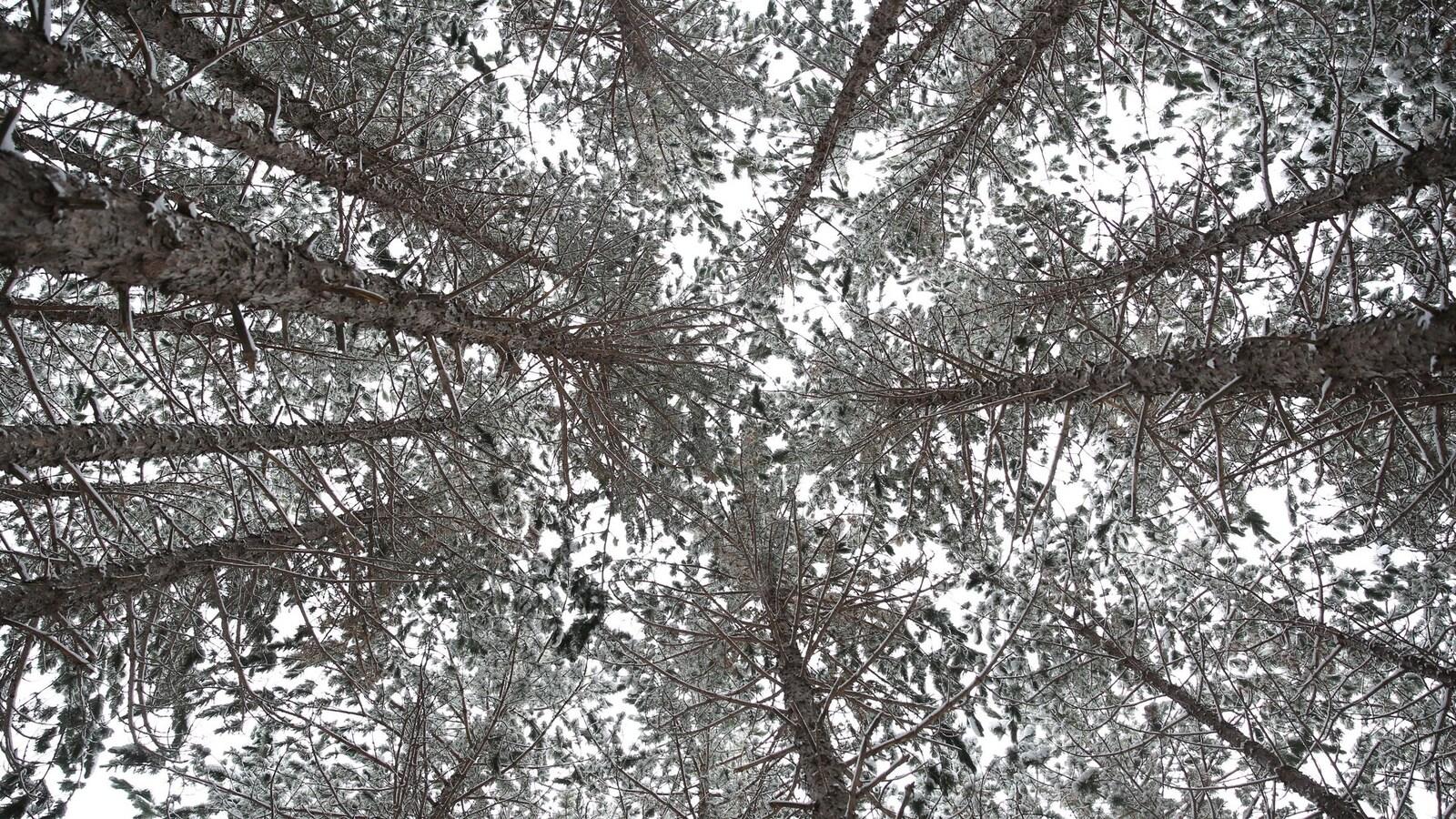 Des arbres enneigés dans le Nord de l'Ontario.