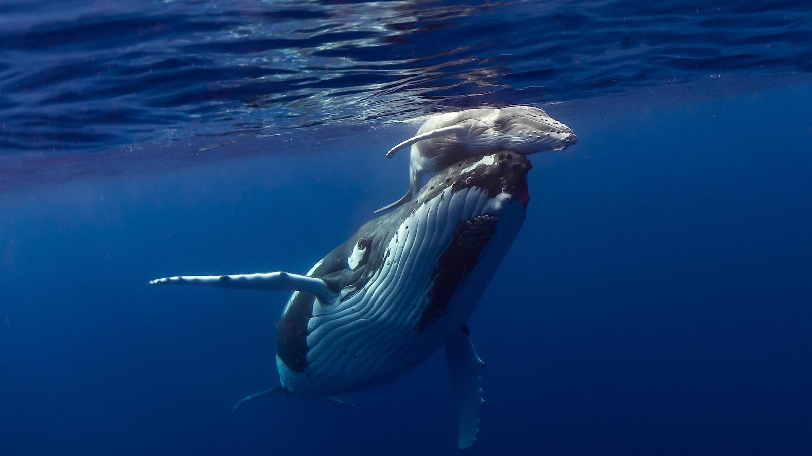 Une baleine à bosse et son baleineau photographié sous l'eau.