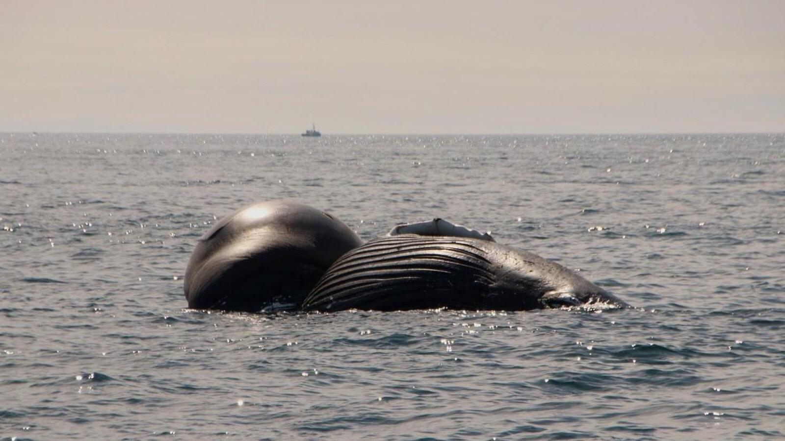 La carcasse de la baleine à bosse flottant dans la baie de Fundy.