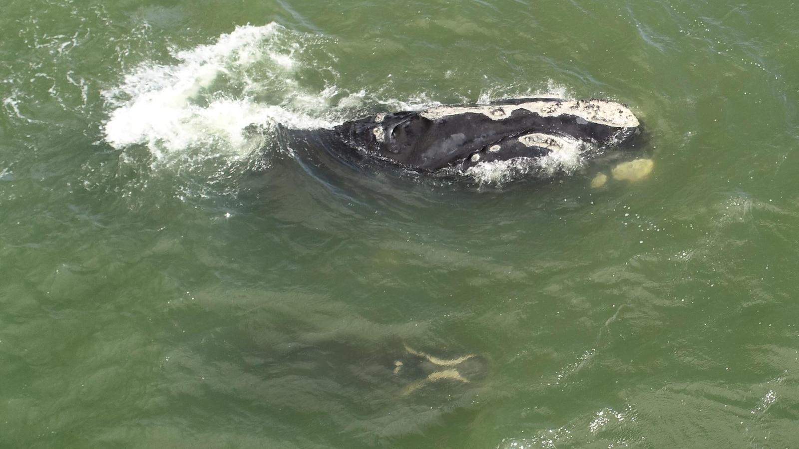 Une baleine noire de l'Atlantique Nord et son baleineau.