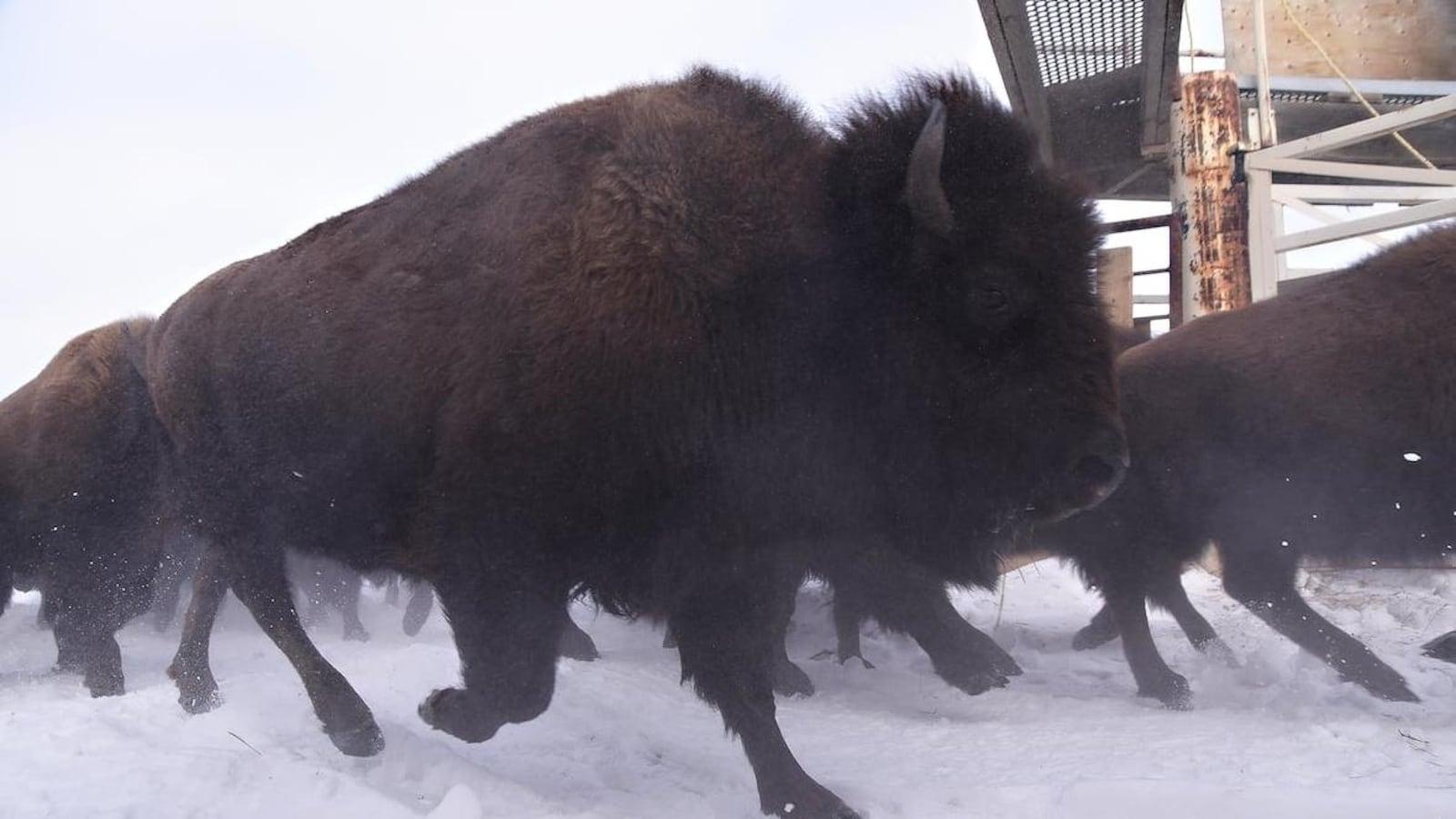 Des bisons marchent dans la neige dans un enclos du parc national Elk Island.