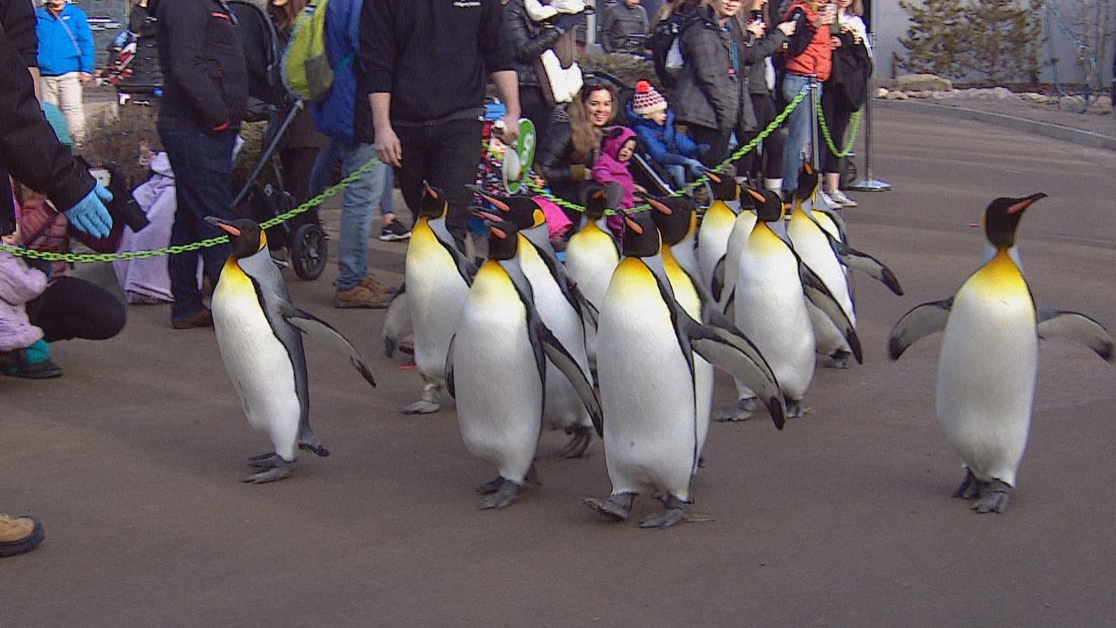 Une dizaine de manchots marchent ensemble sur un chemin dehors. Le public les observe derrière un cordon de sécurité.