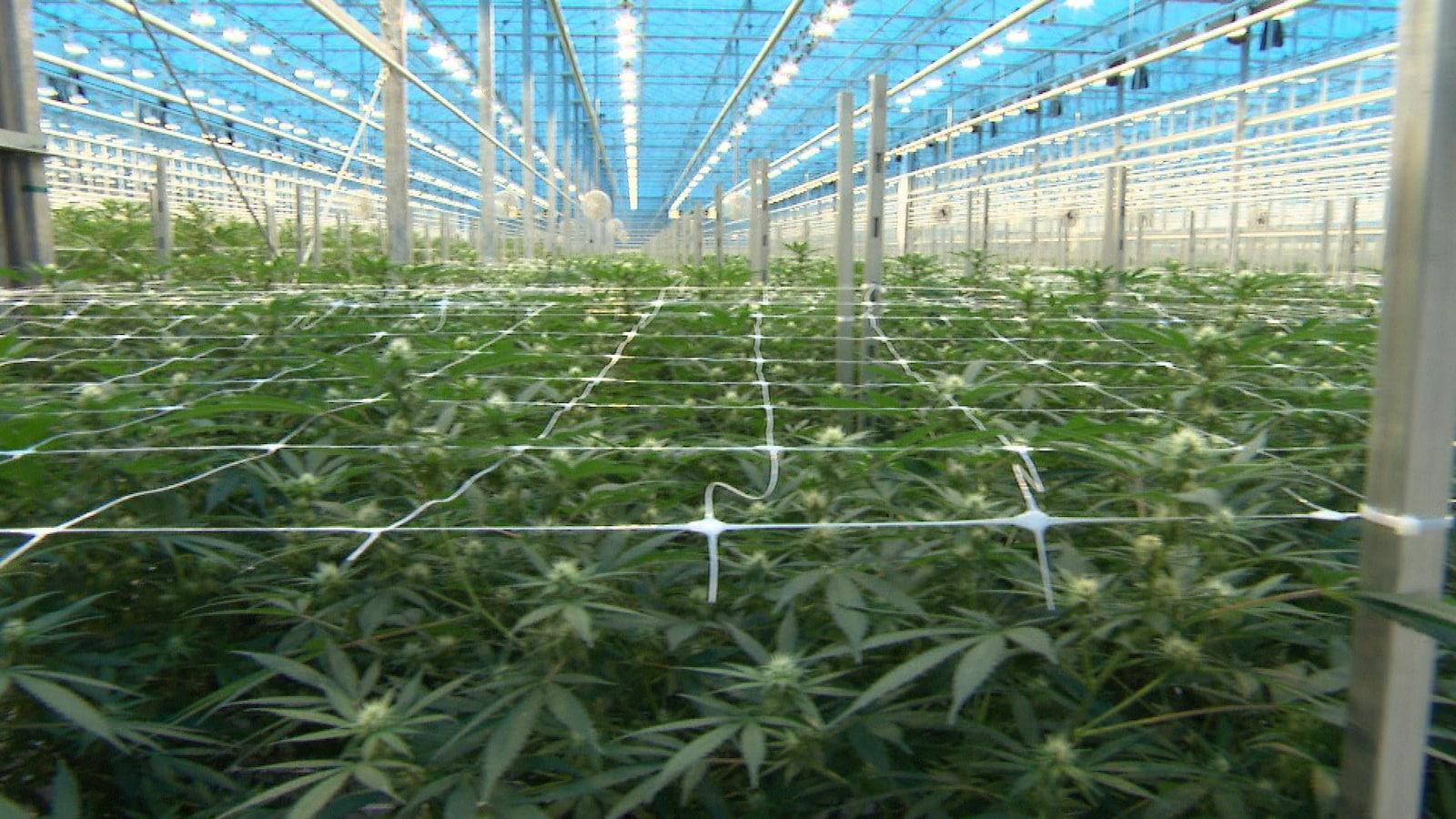 Dans une serre, des plants de cannabis.