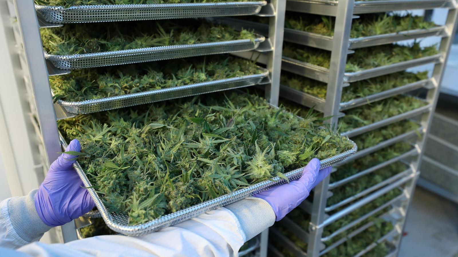 Un employé d'une compagnie de cannabis montre sa production.