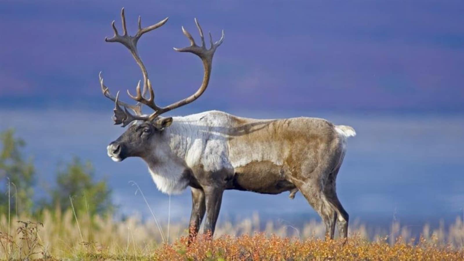 Un caribou de la forêt boréale.