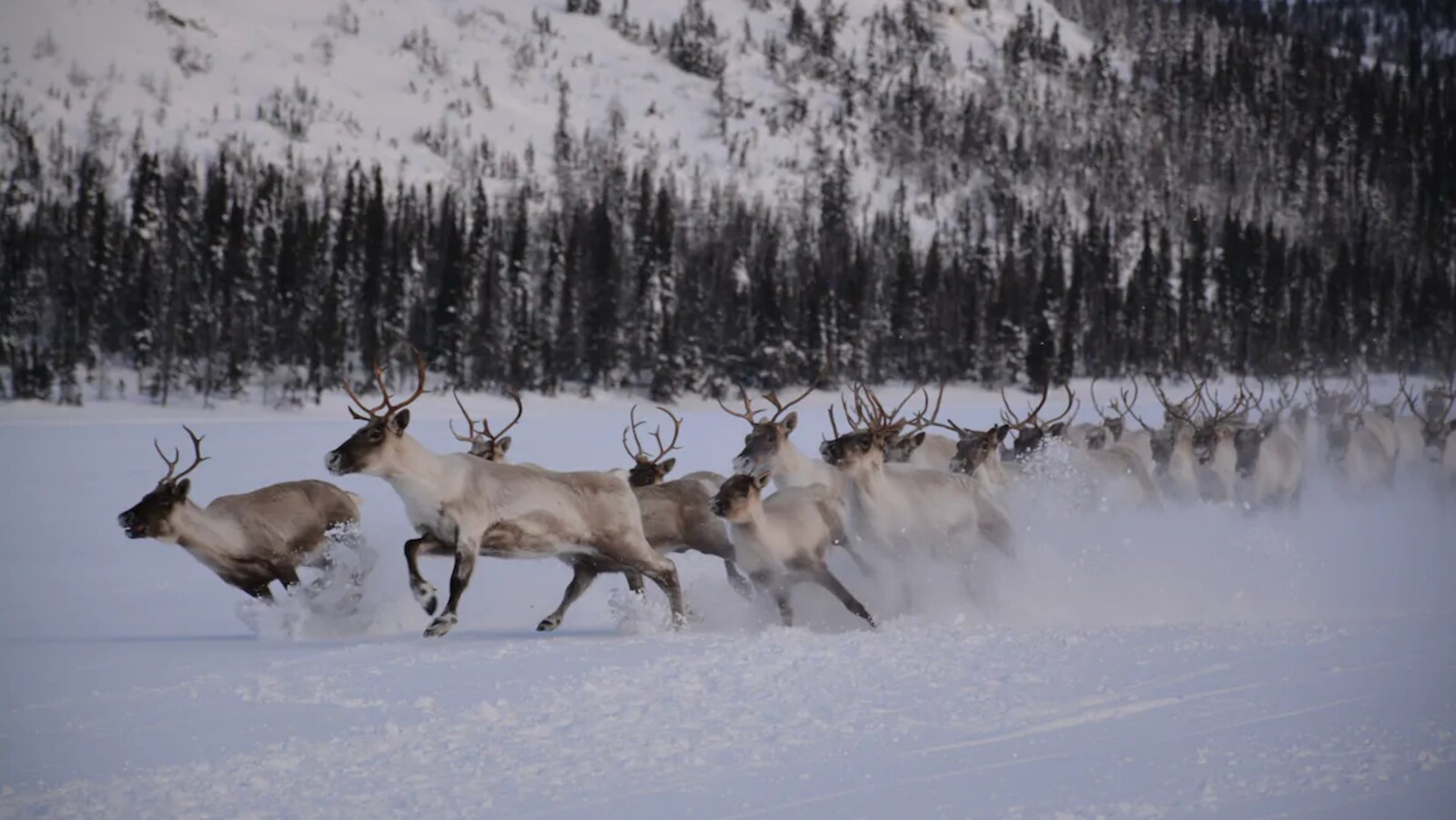 Des caribous de la rivière George aperçus dans la région de Nain, au Labrador, en 2017.