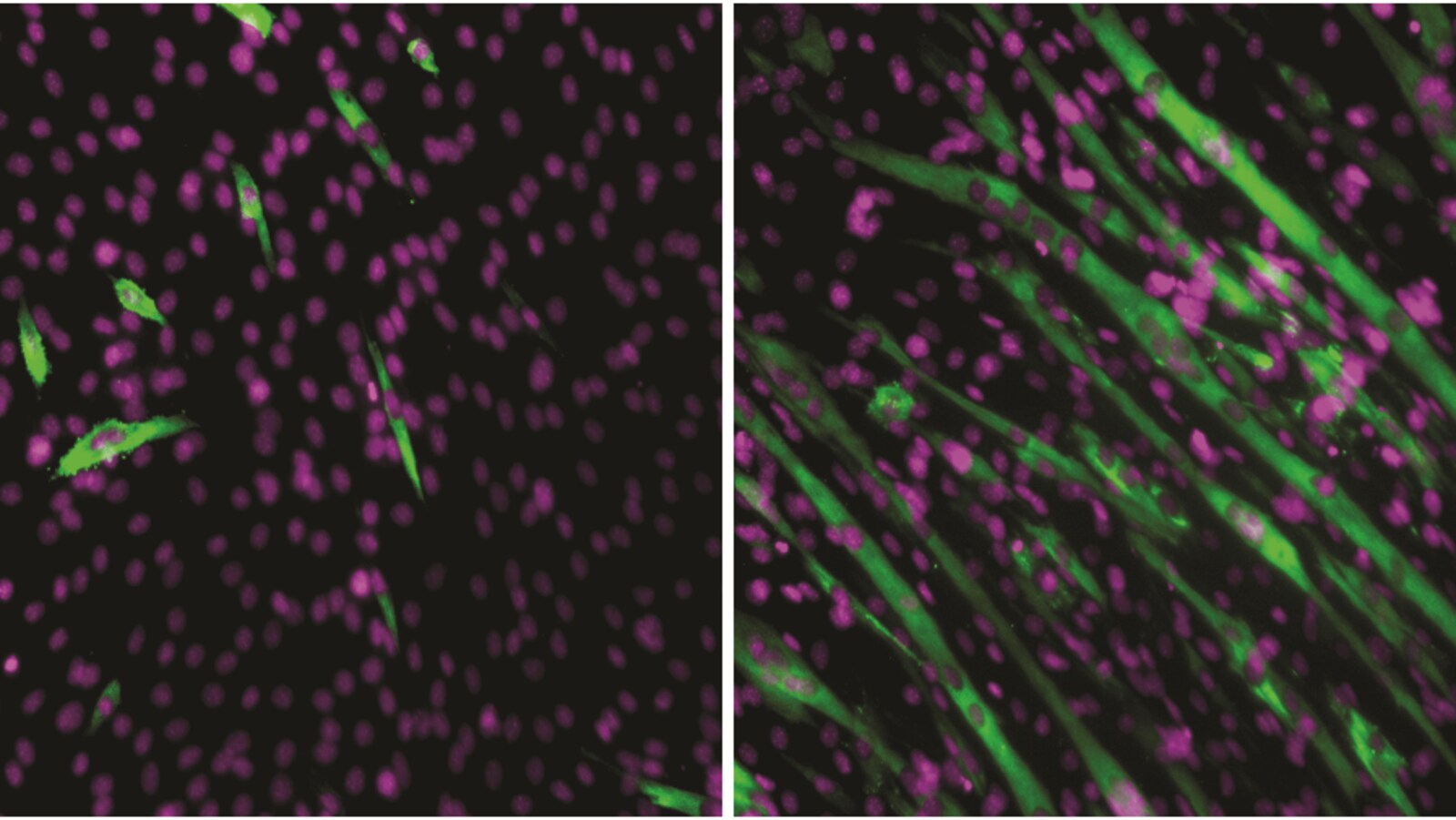Des cellules myoblastes.