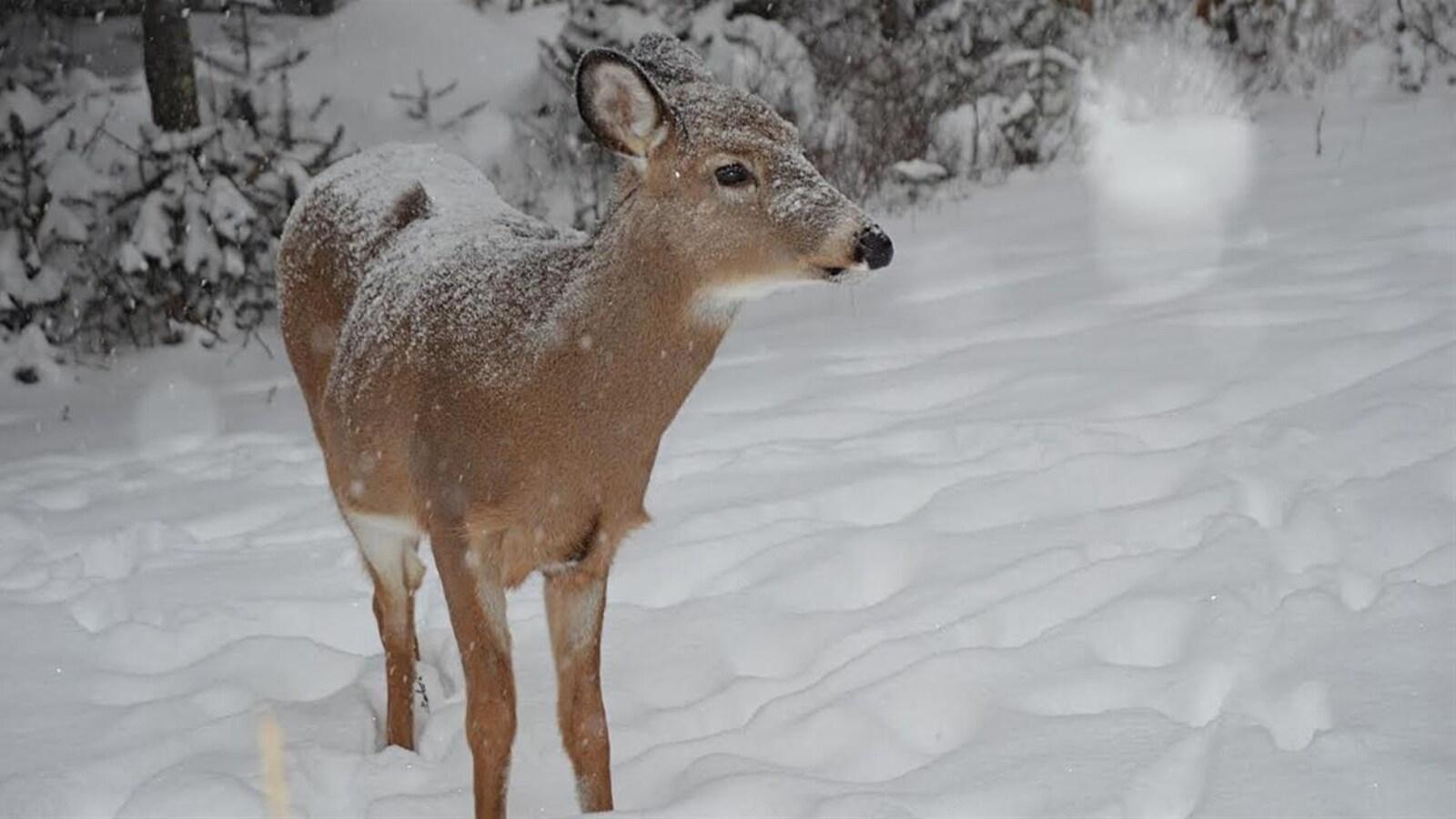 Un chevreuil dans la neige.