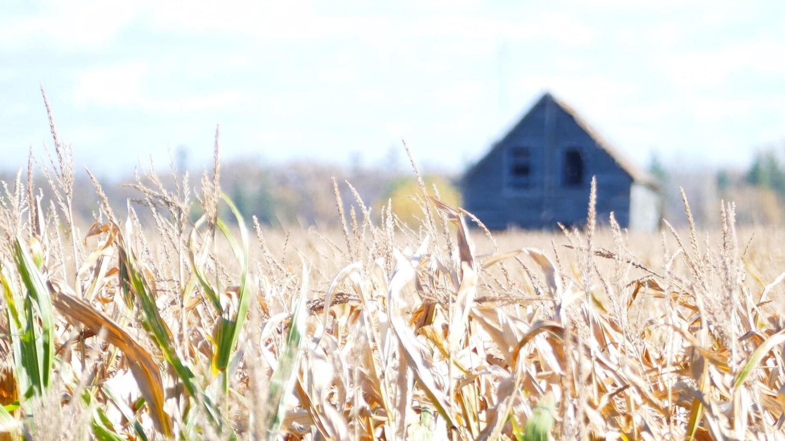 Un champ de blé prêt à être récolté, sous un soleil éclatant, avec une maison de ferme en arrière-plan.