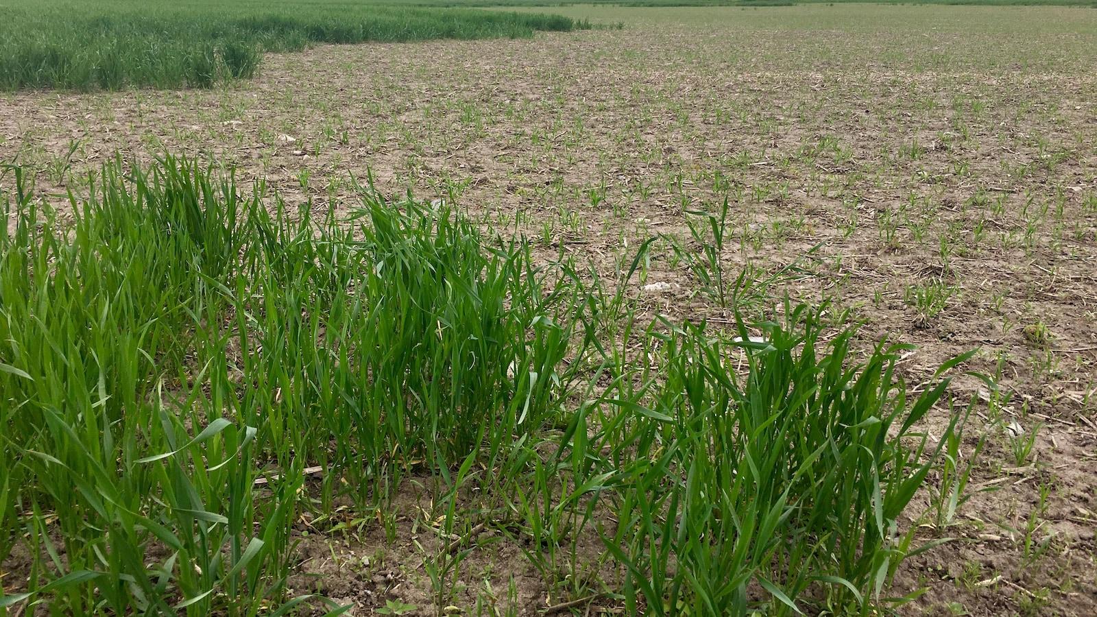 Un champ de blé éprouvé par l'hiver.