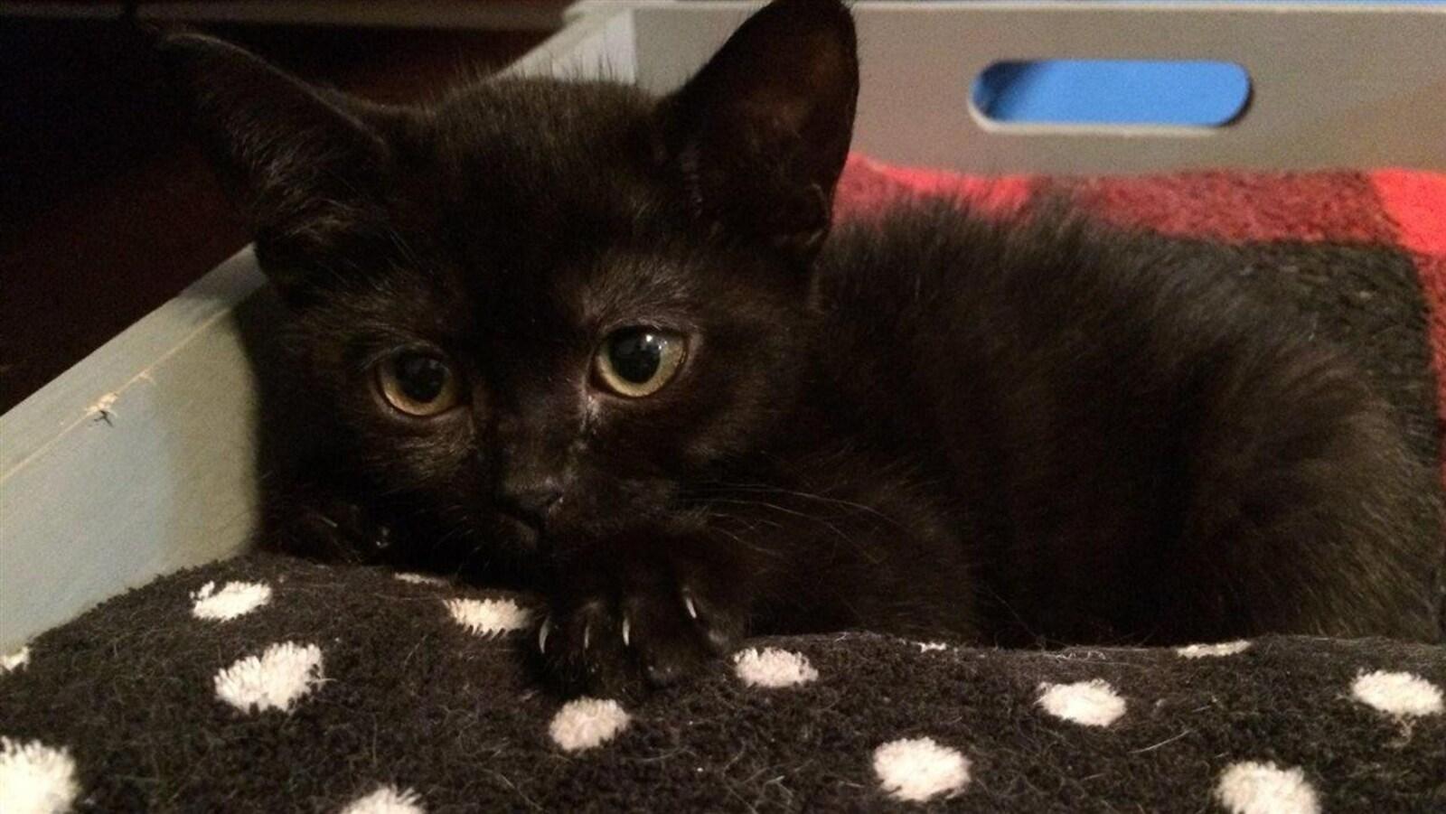 Un chat noir sur un coussin à pois
