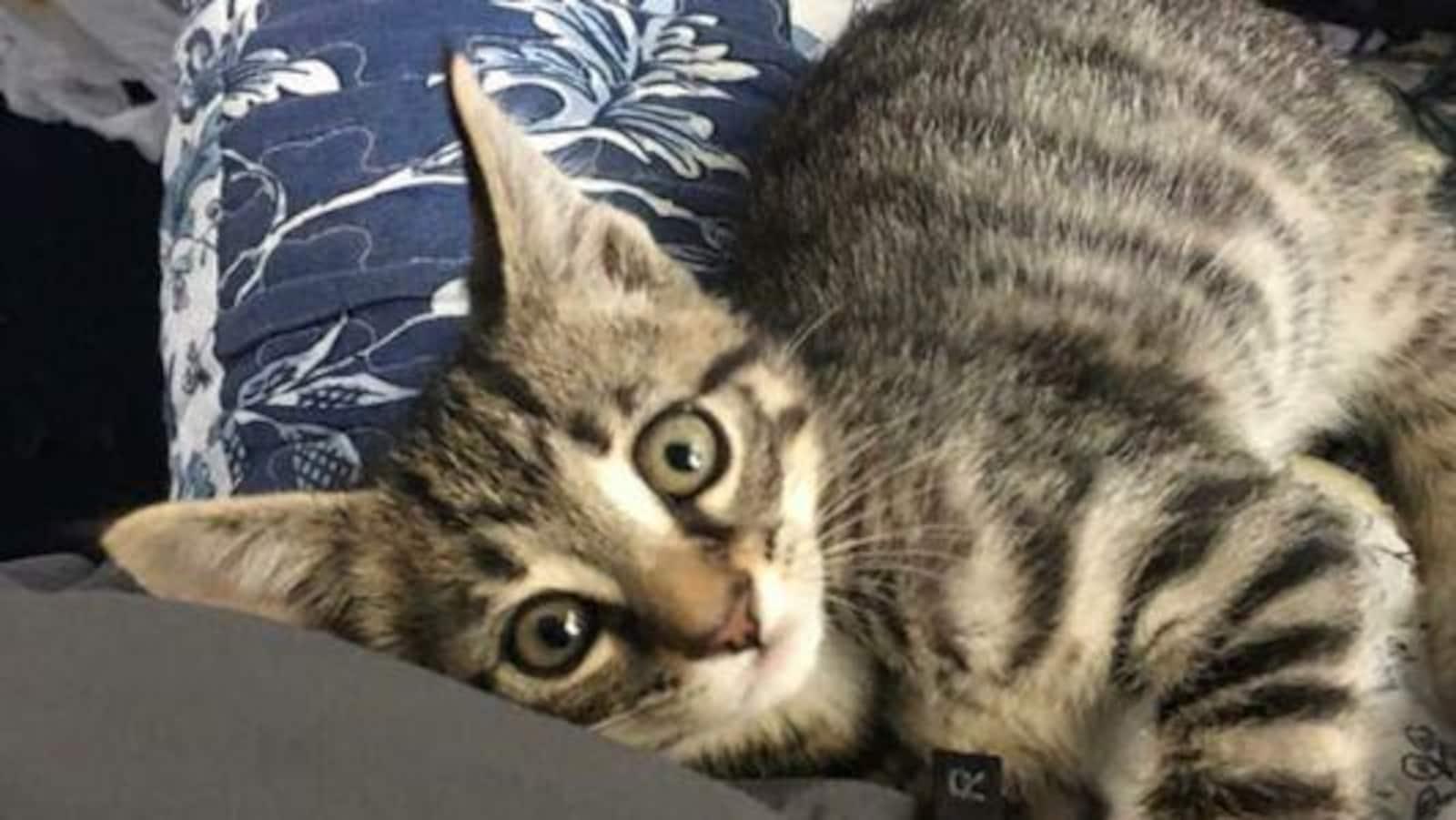 Un chat est couché sur un canapé et regarde l'objectif de l'appareil photo.