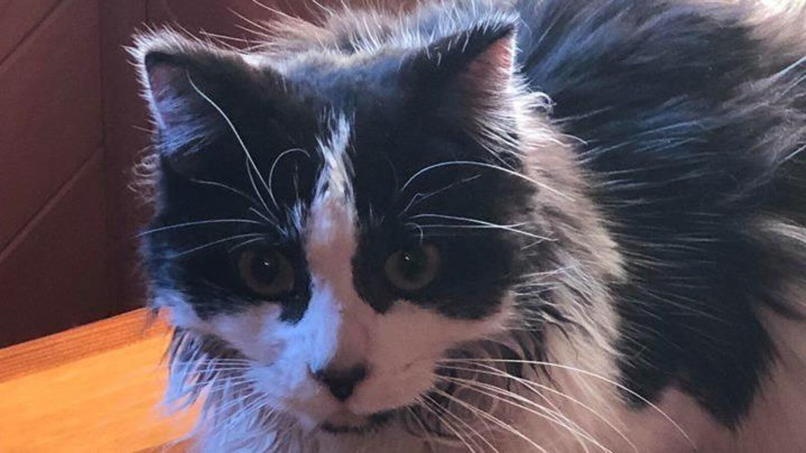 La chatte Oreo sur une table.