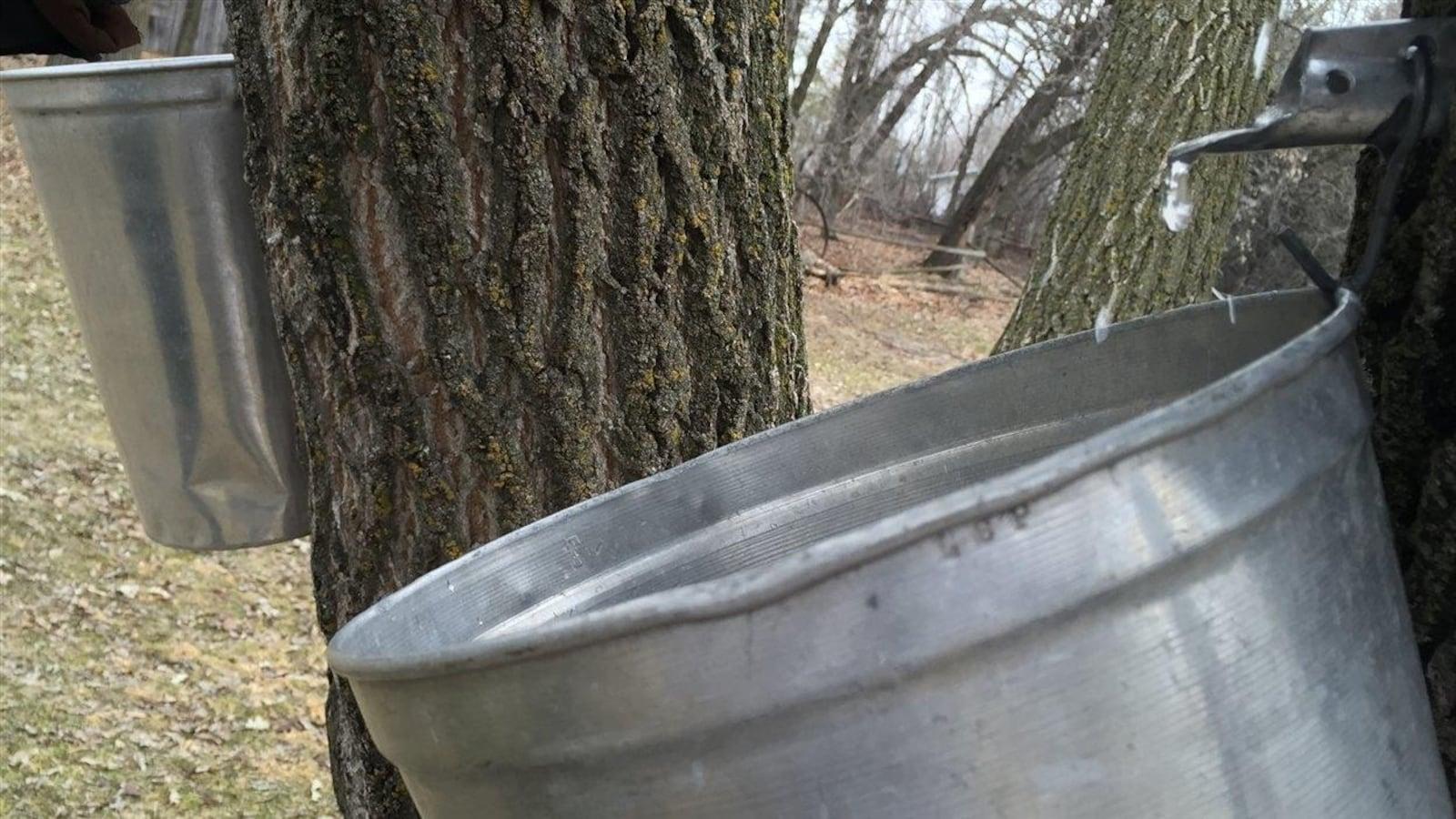 Une chaudière recueille de l'eau d'érable, dans une érablière